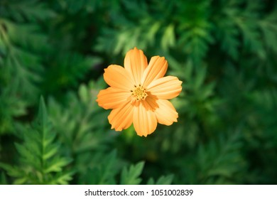 Yellow Cosmos flower blooming in the field. Sulfur cosmos with green garden background (Cosmos sulphureus).