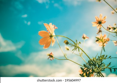 Yellow Cosmos flower and blue sky in thr nature vintage