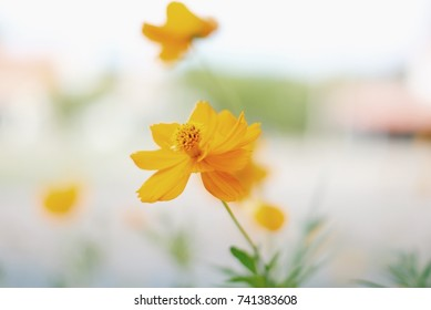 yellow cosmos flower with blur background