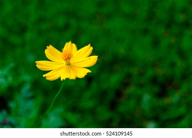 yellow cosmos flower on green background for background backdrop wall paper use