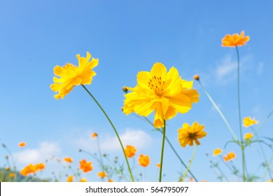 Yellow cosmos flowers against the bright blue sky. Cosmos is also known as Cosmos sulphureus