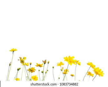 Yellow cosmos flowers are blooming on a white background.