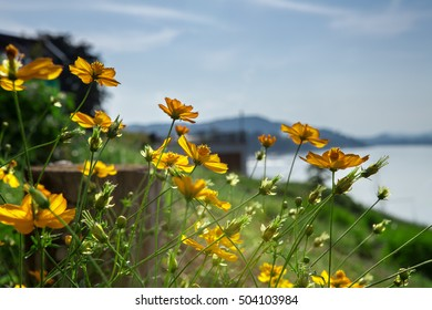 Yellow Cosmos flowers at Chiang Kan, the old city along Mekong river (Loei)