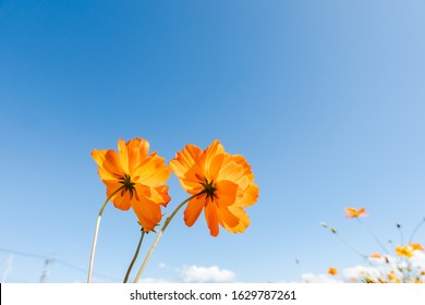 yellow cosmos flowers farm in the outdoor under blue sky
