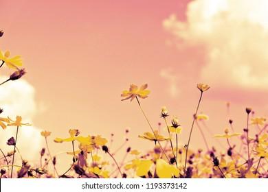yellow cosmos flowers in garden.