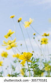 Yellow cosmos flowers with light blue background,soft focus,vintage filter,nature concept,nature background.