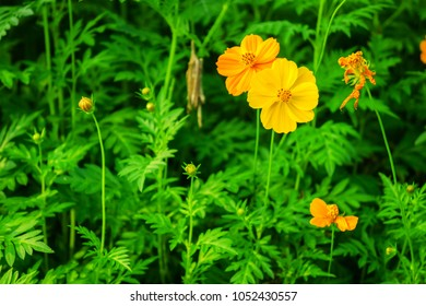 Yellow Cosmos sulphureus plant in a flower field. It is also known as sulfur cosmos.