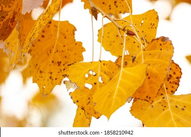 yellow cottonwood leaves on a tree