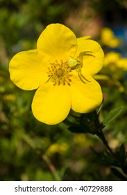 Yellow Crab spider on yellow Shrubby Cinquefoil flower