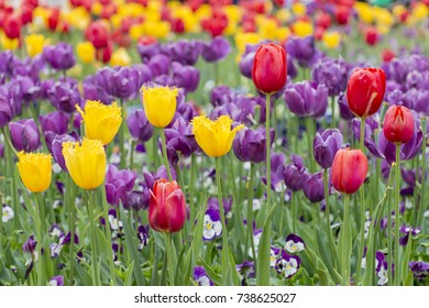 Yellow Crispa Tulips and Red Tulips with Purple Triumph Tulips on a beautiful background