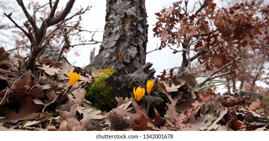 yellow crocus blooming in spring