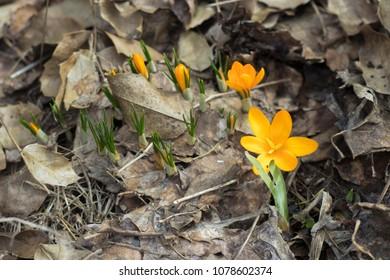 Yellow Crocus Chrysanthus Goldilocks