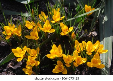 Yellow Crocus. Chrysanthus Goldilocks. One of the first flowers in spring.