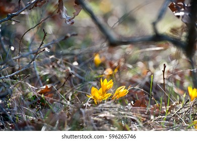 Yellow crocus flowers highlighted with the sunlight