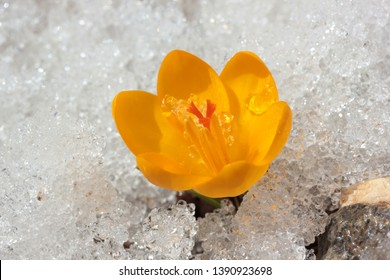 yellow crocus flowers in snow