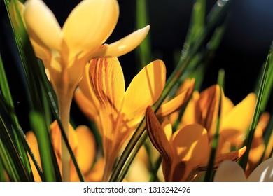 Yellow crocuses in the back light as a spring greeting