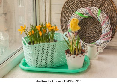Yellow crocuses in flower pots with chicken sticker and a decorative watering can on the window