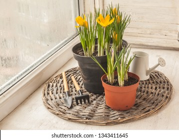Yellow crocuses in flower pots and a decorative watering can next to a rake and a shovel on the window