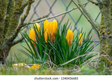 yellow crocuses in spring