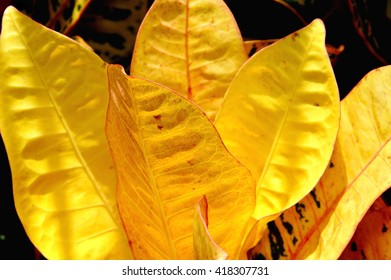 Yellow croton petra tropical plant.