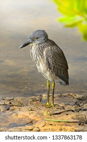 Yellow crown Night heron, juvenile, hunting in the low tide. Latin name - Nyctanassa violacea. Focus on head.