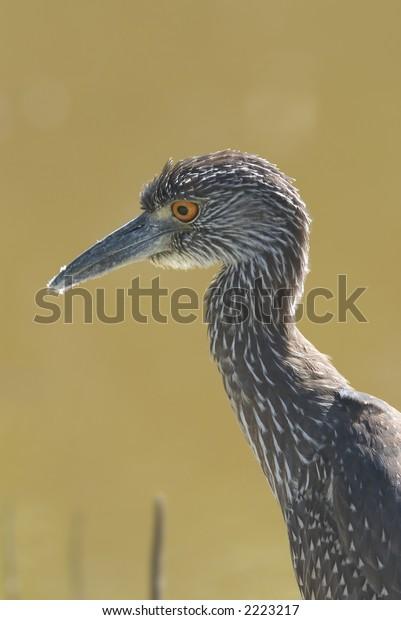 Yellow crowned night heron, Florida