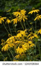 Yellow cutleaf coneflowers - Latin name - Rudbeckia laciniata