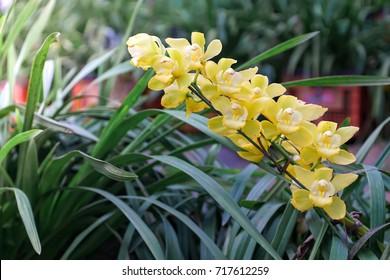 Yellow cymbidium orchid in cymbidium orchid farm, sympodia plant, cut flowers for sale