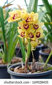 Yellow cymbidium orchid in pot