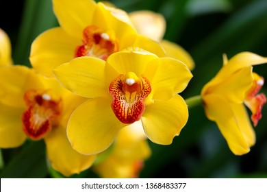 Yellow Cymbidium Orchids (corsage orchid) 'Yellow submarine' flowers blooming in the conservatory. Macro. Orchid pattern. Orchid background