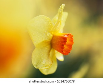 Yellow daffodil amongst other daffodils
