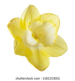 Yellow daffodil flower isolated on white background.