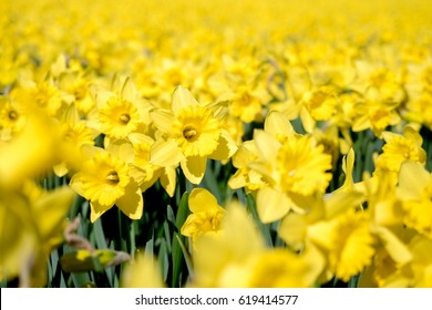 Yellow daffodil flowerfields blooming