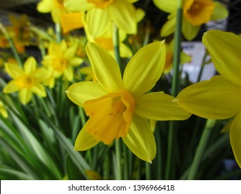 Yellow daffodil flowers blooming in spring 2019