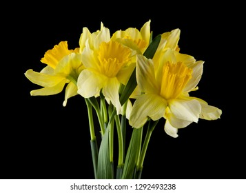 Royalty Free Daffodil Images Stock Photos Vectors Shutterstock