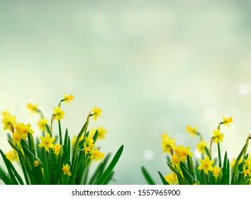 Yellow daffodil flowers over spring background with copy space