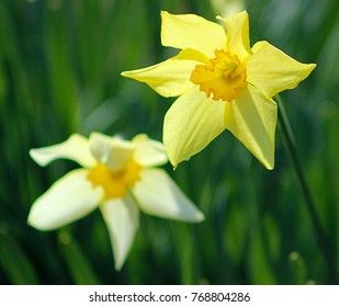 Yellow daffodil in front of a white daffodil