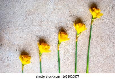 Yellow Daffodil Knolling st Davids  Day