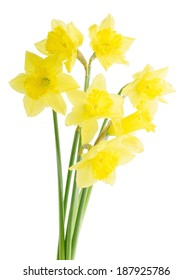 yellow daffodil on white background