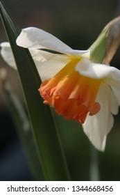 Yellow daffodil in the spring