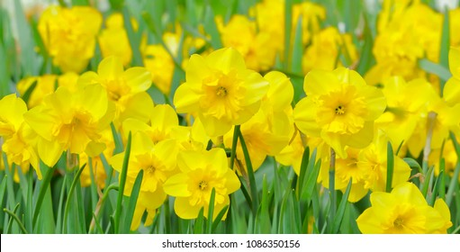 yellow daffodils in bloom on a flower bed
