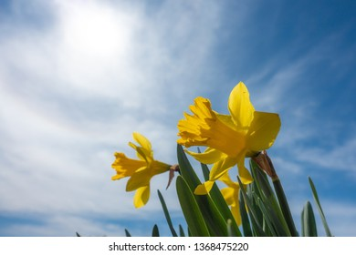 Yellow Daffodils in bloom with a shallow depth of field against a blue sky - image