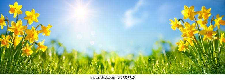 Gelbe Narzissen, florales Bett.Naturhintergrund