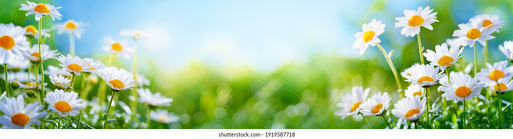 Yellow daffodils flower bed.nature background - Shutterstock ID 1919587718