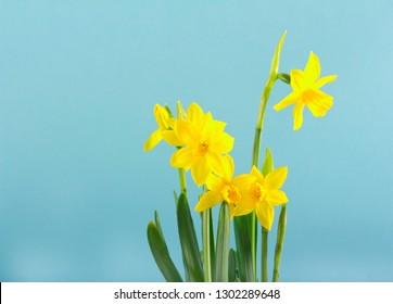 Yellow daffodils flowers over blue background, copy space
