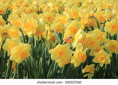 yellow daffodils in full sunlight, Dutch floral industry