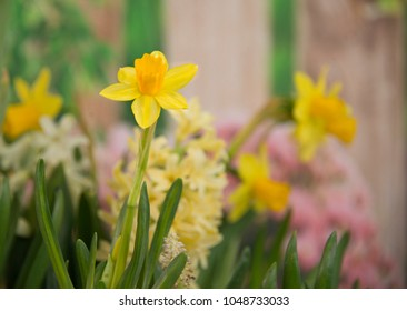 Yellow daffodils and hyacinth blooming in spring