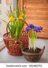 Yellow daffodils and iris (Iridodictyum reticulata) in a basket  on a window