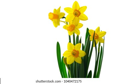 Yellow daffodils isolated on white background. Spring flowers blooming