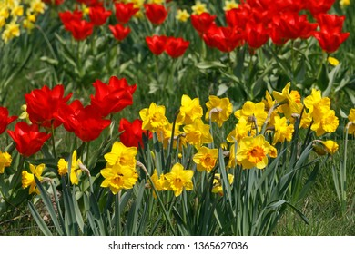Yellow daffodils or narcissi and red tulips, spring flowers